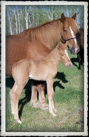 Hannas Filly at just a few hours old.